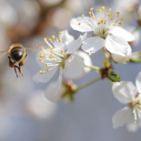 Les abeilles des artistes en fleur